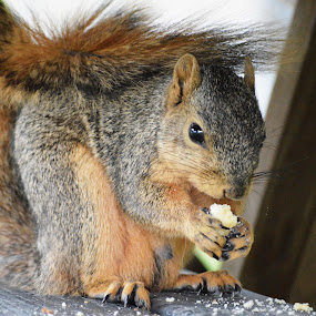 Squirrel having a snack by Benny Lopez - Animals Other ( doughnut, bench, table, snack, squirrel )