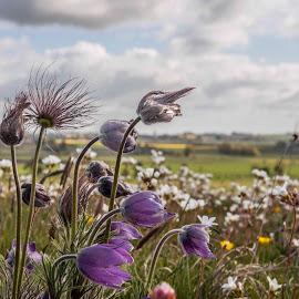 pasqueflower by Staffan Håkansson - Landscapes Prairies, Meadows & Fields ( clouds, pink flower, sweden, pasqueflower, horizon, scania, rapsbollen )