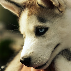 Blue Eyes by Sam Reed - Animals - Dogs Puppies ( husky, cutie, puppy, ohio, columbus )