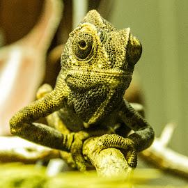 cameleon by Daniel Balaj - Animals Reptiles ( cameleon, face, zoo, eyes, animal )