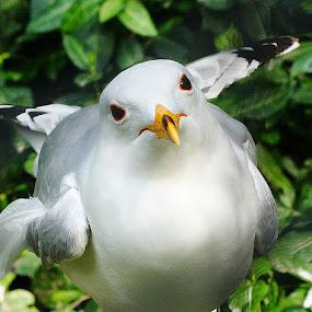 Seagull by Virginia Folkman - Animals Birds