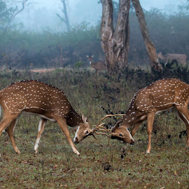 Sparring by Ganesh Namasivayam - Animals Other Mammals ( bandipur tiger reserve, chitals, spotted deer, sparring, spotted deers sparring )
