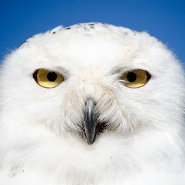 Watching you by Ben, Instagram: @bgrantphotos - Novices Only Wildlife ( my1eye, bird of prey, owl, wildlife, eyes )