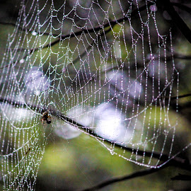 Weaved Water Drops by Holly Stokes - Nature Up Close Webs ( water drops, dew, web, rain drops, spider web )