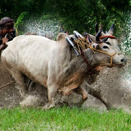 BULL RACE by Alay Sankar Dawn - Sports & Fitness Other Sports