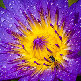 by Ryan Dominguez - Flowers Single Flower ( water drops, lotus, busy bee, bee, morning dew, bee on flower, water lily )