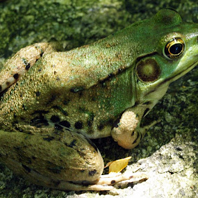 by Stephanie Seward - Animals Amphibians ( frog, green, botanical garden )