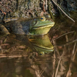 Frog Reflection by Jay Stout - Animals Amphibians