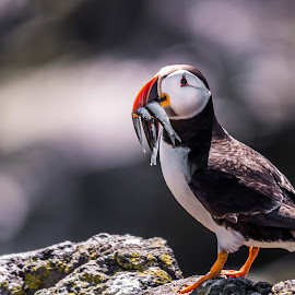 Lone Puffin by Andrew Gasiorowski - Animals Birds ( rocks, puffin, bird, sand eel, scotland,  )