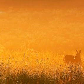 Deer during sunrise by Sami Rahkonen - Animals Other Mammals ( wild animal, mammals, wild, animals, fauna, flora, wildlife, vegetation, landscape, sunlight, mammal, sun, wilderness, nature, sunrise, deer sunrise, animal )