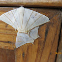 Swallow-tailed Moths