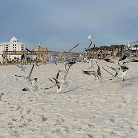 Morning Flight by Kathy Psencik - Novices Only Wildlife ( gulls in flight, seagulls, beach, birds, birds and beach )