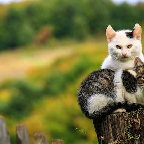 by Flaviu Negru - Animals - Cats Kittens