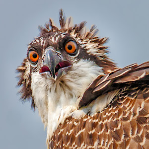 Young-Osprey-Closeup-O-70308.jpg