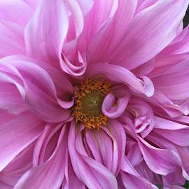 Delightful dalhia, by Leslie Hunziker - Instagram & Mobile iPhone ( summer, dahlia, garden, flower )