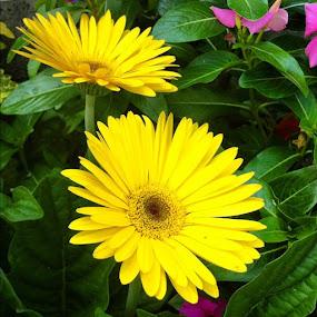 Yellow Gerber Daisy by Briana Jones - Instagram & Mobile Instagram