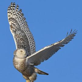 Jump for joy by Steven Liffmann - Animals Birds ( snowy owl,  )