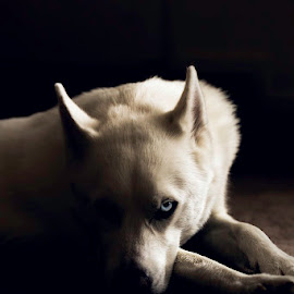 The Blue Eyed White Wolf by Cameron Tendler - Animals - Dogs Portraits ( blue eye, husky, wolf, white dog, dog )