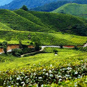 Cameron Highland by Nuzul Taufiq - Landscapes Mountains & Hills ( bohtea, cameron highland, malaysia )