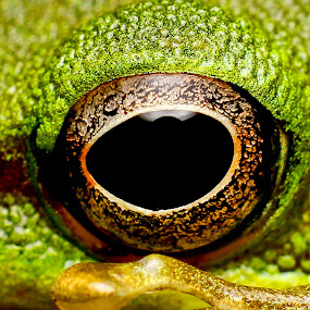 The Eye by Oren Kaler - Animals Amphibians ( up close, nature )