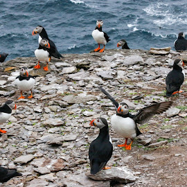 Group of Puffins by Marc and Stefanie Moody - Novices Only Wildlife ( ireland, skellig, wildlife, puffins, birds )