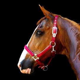 Farina by Christiane Baur - Animals Horses ( mare, chestnut, old, bridle, sorrel, horses, beautiful, horse, halter, pink, thoroughbred, arabian, halfbred,  )