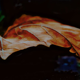 Fallen Leaf by Sheen Deis - Nature Up Close Leaves & Grasses ( nature, landscape, leaves, maple leaves )