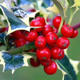 Garden Holly by Chrissie Barrow - Nature Up Close Other Natural Objects ( red, holly, nature, green, yellow, leaves, garden, closeup, berries )