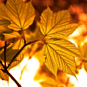Golden light. by Meaghan Browning - Nature Up Close Leaves & Grasses ( pwcfallleaves, tree, leaves, branches, golden )