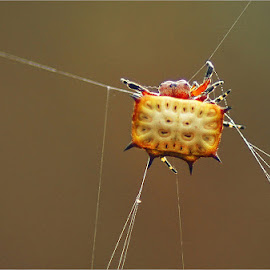 kite spider by Leon Pelser - Animals Insects & Spiders ( 1/160, no flash, f 5.6, iso 800, tripod,  )
