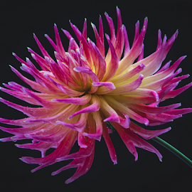 by Keith Sutherland - Flowers Single Flower