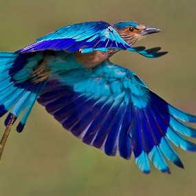 INDIAN ROLLER.. . by Mohan Munivenkatappa - Animals Birds