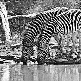 Zebra Twins by Pieter J de Villiers - Black & White Animals ( water, mammals, animals, drinking, black & white, zebra, thirst, twins )