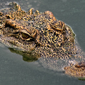 SINKING EYE by NEELANJAN BASU - Animals Reptiles ( sinking, crocodile, reptile, eye, animal,  )