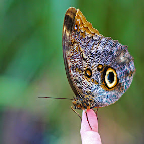 African Butterfly by Ian Sell - Animals Insects & Spiders ( butterfly, fingertip, african, wings, finger, insect, eye )
