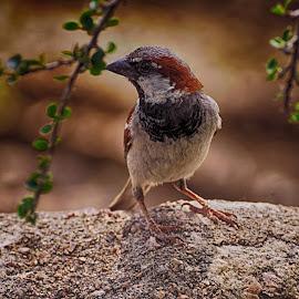 American Robin by Victor Orazi - Animals Birds