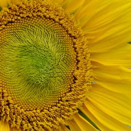 SUNFLOWERS by Metta Karmanto - Flowers Flower Arangements (  )