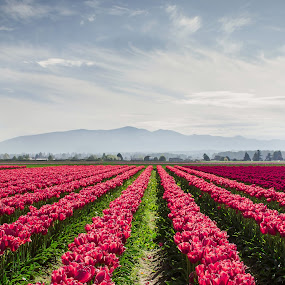 Tulip fields by Jenny Hammer - Flowers Flower Gardens ( spring, flowers, pretty, tulips, nature,  )