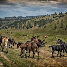 Wild Horses near Bozica Village, Serbia by Pavle Randjelovic - Animals Horses