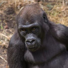 Gorilla by Janet Marsh - Animals Other Mammals ( face, gorilla, sf zoo, eyes )