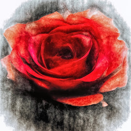 Painted Rose by Dave Walters - Digital Art Things ( macro, nature, rose, lumix fz2500, colors )