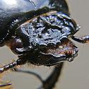 Bess beetle or Bessbug