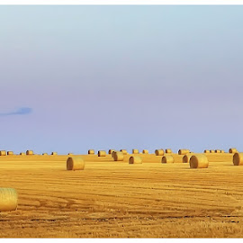 bales by Brian Kirby - Landscapes Prairies, Meadows & Fields ( field, smmer, hay, bales, yellow )