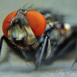 by JM Hamon - Novices Only Macro ( fly macro bug insect hamon,  )