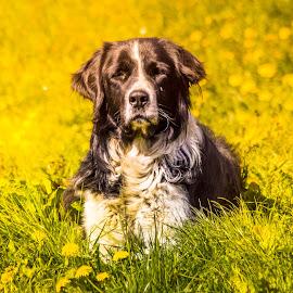 by Laurentiu Barbu - Animals - Dogs Portraits