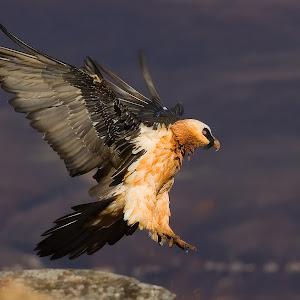 francois loubser-bearded vulture-12.jpg