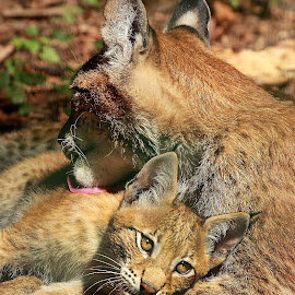 Amour du lynx by Gérard CHATENET - Animals Lions, Tigers & Big Cats