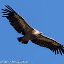 Griffion Vulture; Buitre Leonado