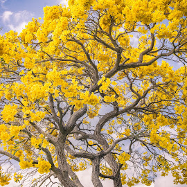 Golden Trumpet Tree by Lourdes Olartecoechea - Flowers Tree Blossoms ( sky, tree, blossoming, yellow flower, golden trumpet tree )