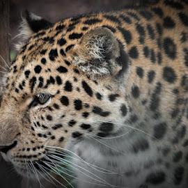 Leopard by Karen Peirce - Animals Lions, Tigers & Big Cats